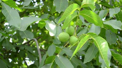 Green Walnuts in Tree ライブ動画