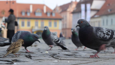 Ground View of Pigeons Footage