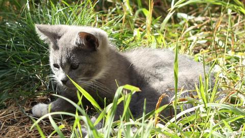 Kitten Sitting in Grass Footage