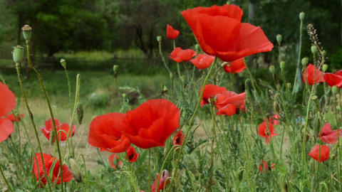Poppies on Field Close Up Footage
