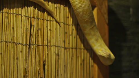 Pyhton Snake Footage