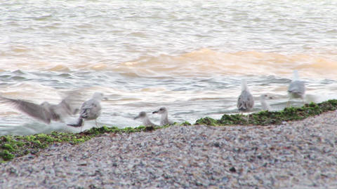 Sea Gulls Playing Footage