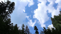 Tall Pines and Fast Clouds Footage