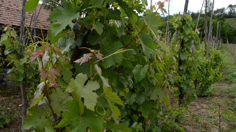 Traditional Cultivation of Vine Grapes Footage