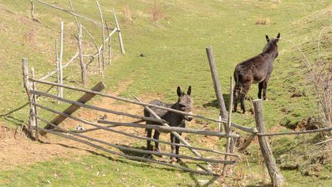 Two Donkeys Near Hurdle Footage