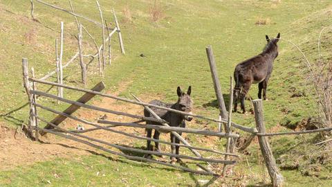 Two Donkeys Near Hurdle Footage