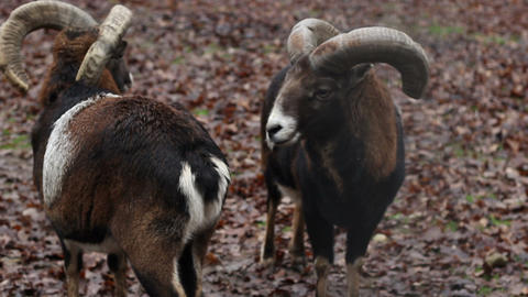 Two Mouflons Footage