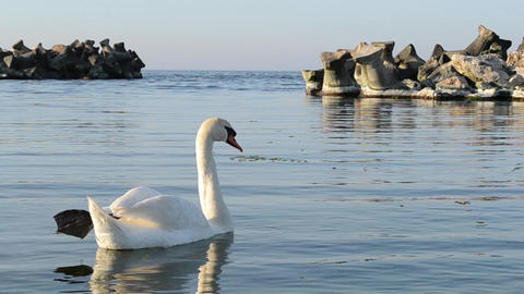 White Swan In A Sea Golf stock footage