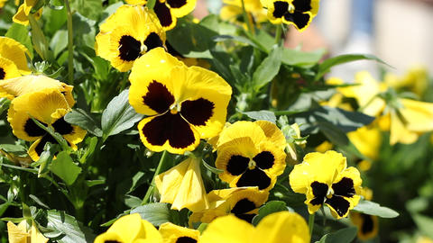 Yellow Pansies Footage
