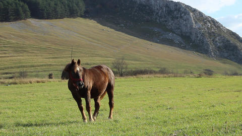 Young Horse on Pasture Footage