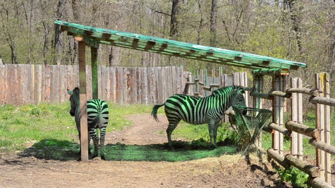 Zebra Tail Wagging Footage