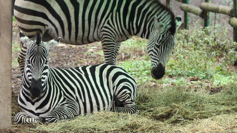 Zebras Grazing Footage