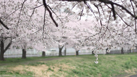 【桜】サクラ stock footage