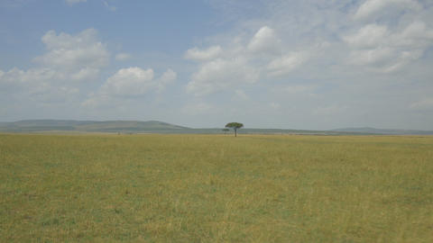 AERIAL: Lonely tree on a yellow meadow in Africa Footage