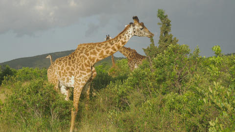 SLOW MOTION: Giraffe eating leaves in Maasai Mara, Footage