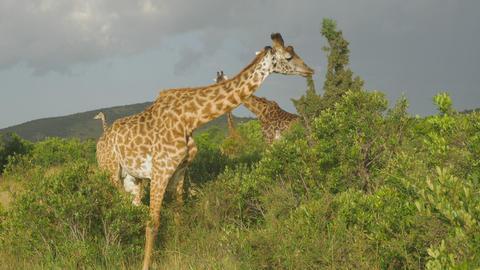 SLOW MOTION: Giraffe eating leaves in Maasai Mara, Footage