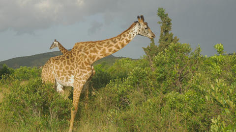 SLOW MOTION: Giraffes eating bushes in Maasai Mara Footage
