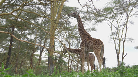 SLOW MOTION: Tall giraffes eating leaves in Africa Footage