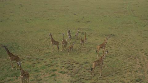 AERIAL: Giraffes in Maasai Mara, Kenya Footage