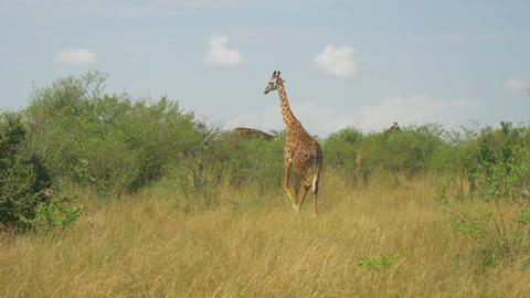 AERIAL: Giraffes in African savannah Footage
