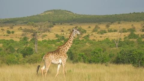 AERIAL: Giraffe walking through African meadow Footage
