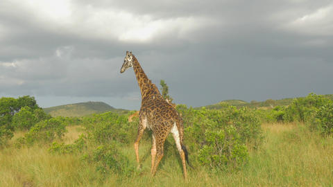 SLOW MOTION: Herd of giraffes in African Safari Footage