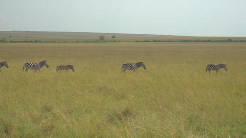 Zebras in African safari Maasai Mara Footage