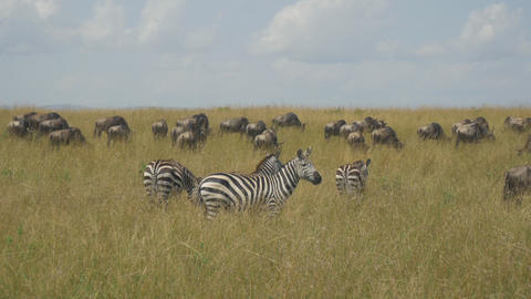 Zebras and wildebeest in African safari Maasai Mar Footage