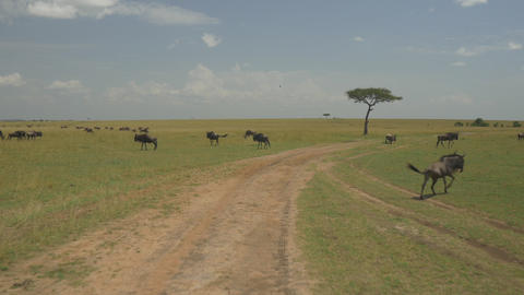 AERIAL: Wildebeest and zebras in Kenya safari Maas Footage