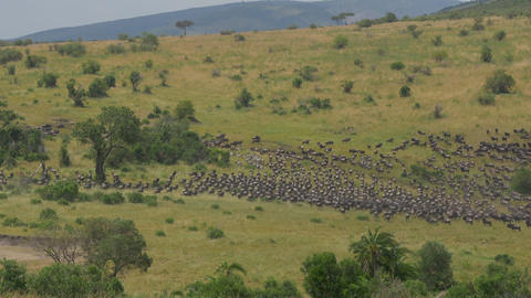 Wildebeest stampede in African Safari Footage