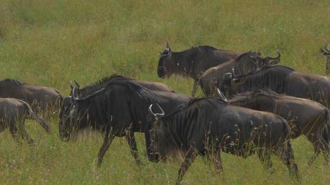 CLOSE UP: Wildebeest migration Footage