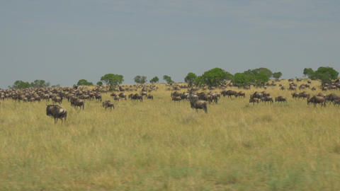 AERIAL: Tourists driving pass large herd of wildeb Footage