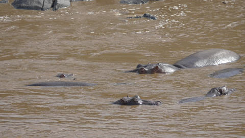 SLOW MOTION: Hippos in the river in Masai Mara Footage