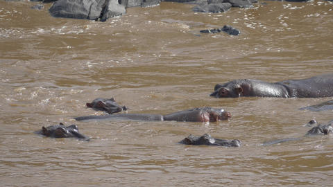 SLOW MOTION: Hippos popping out of the river in Ke Footage