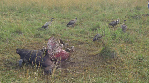 SLOW MOTION: Vultures gathering around the dead bu Footage