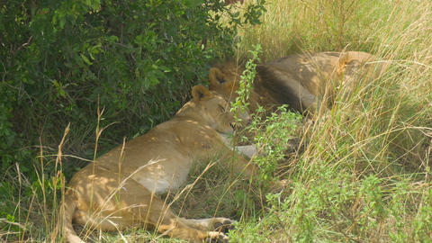 Lions sleeping under the tree in Africa Footage