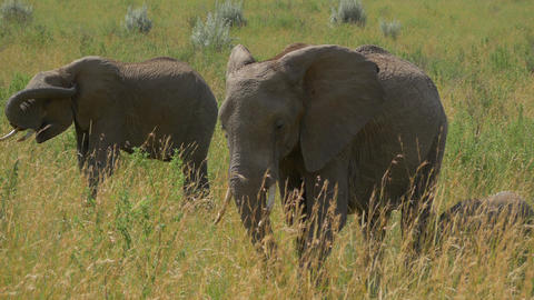Elephant family in African Safari Footage