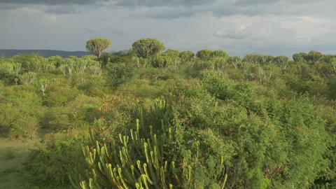 AERIAL: Big cactus trees in Africa Footage