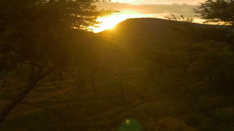 AERIAL: Sunset sun shining through acacia tree Footage