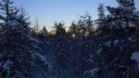 AERIAL: Spruce forest covered in snow at sunrise Footage