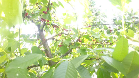Sweet Cherry Gathering Procedure on Top of the Tre Footage
