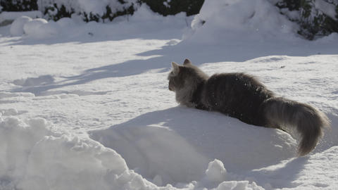 SLOW MOTION: Cat jumps into the fresh snow Footage