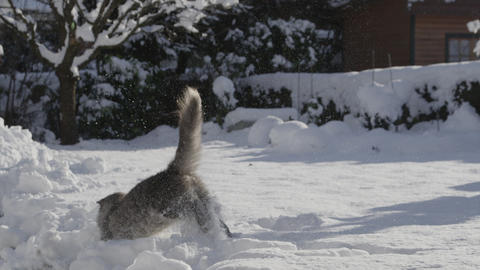 SLOW MOTION: Playful cat catching a snowball in wi Footage