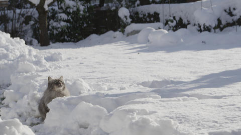 SLOW MOTION: Cat playing with snowballs in winter Footage