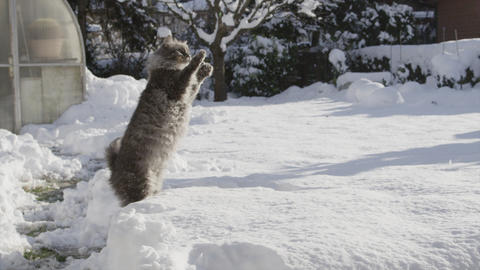 SLOW MOTION: Cat catching snowballs in winter gard Footage