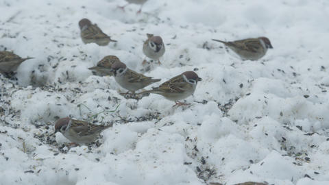 SLOW MOTION: Sparrows eating seeds in snowy winter Footage