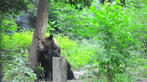 Brown Bear stock footage
