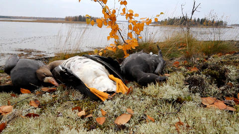 Trophies Northern hunting geese Footage