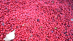 Cranberries are healthy and tasty Northern berry Live Action