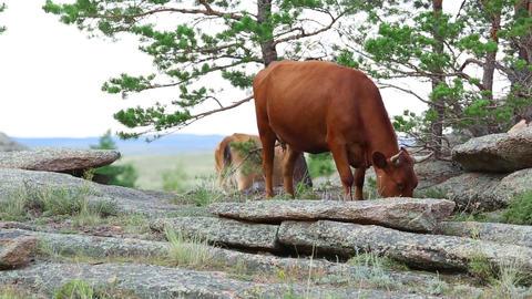 Brown cows Footage